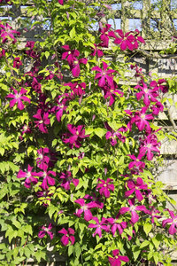Red Clematis: A garden cultivar of Clematis in an English garden.
