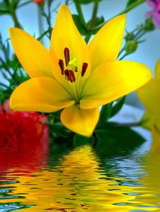 Yellow Lily Over Water: A beautiful yellow lily reflected in the water.