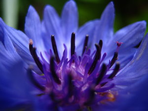 weirdo flowers (5): a very, very blue cornflower, closeup