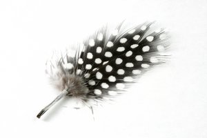 Polkadot Feather Close-up: Close-up of a polkadot feather isolated on a white background.