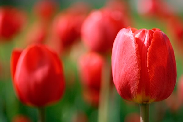 Red Tulips: Close-up of red tulips.