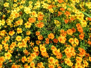 lots of tagetes: lots of tagetes - tagetes tenuifolia cav.