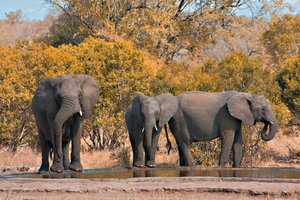 Kruger Park Elephants: Telephoto close-up of elephants in Kruger National Park, South Africa.