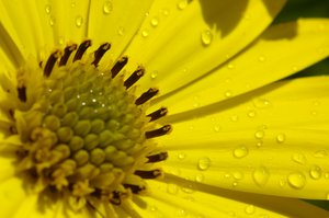 Raindrops on a margerit: Raindrops on a margerit, close up.