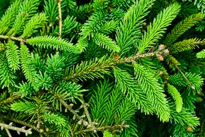Pine Tree Texture: Textured close-up of pine tree leaves.