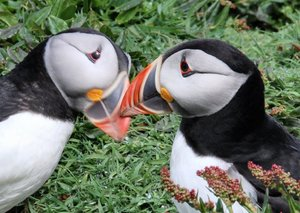 puffin 3: Two days spent on Skomer Island last year gave some great access to puffins, which are wonderful subjects!!