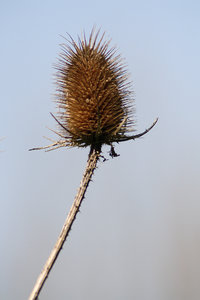 Teasel: A single Teasel on a blue background