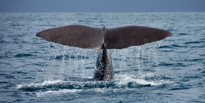 Sperm whale: The tail of a diving sperm whale off the coast of Kaikoura on the east coast of South Island.