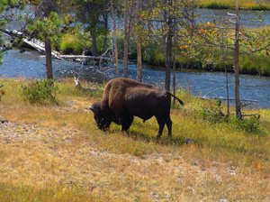 Bison - Yellowstone: Bison feeding along the snake river in Yellowstone National Park.