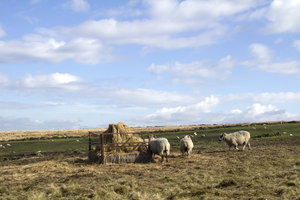 Sheep feeder: Sheep at a hay feeder on moorland in northern England.