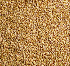 wheat grains2: close-up of bulk quantity of wheat grains