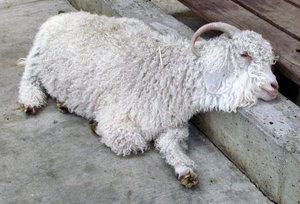 let me rest1: angora goat resting its head on concrete edging