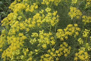 Yellow umbellifer flowers: Yellow umbellifer flowers in southern Spain in spring.