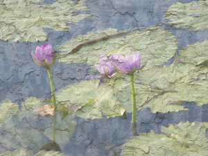 Waterlillies: Pink and green waterlillies. Photo processed to look like a painting with a cracked, crazed or plaster texture. Looks like an old painting.