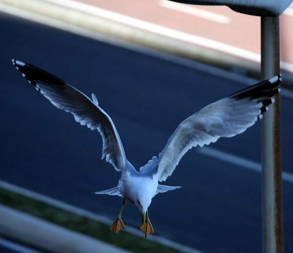 Flying seagull 6