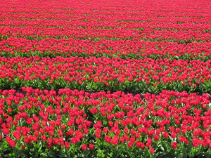 Red flower bulbs.: Flower bulbs from Holland.