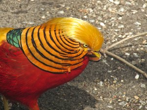 golden pheasant: golden pheasant - read more about them here: