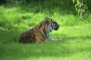 Tiger: Adult tiger (Panthera tigris).