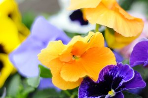 flowers: colorful spring flowers