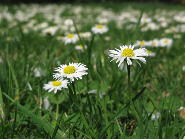 daisies field: none