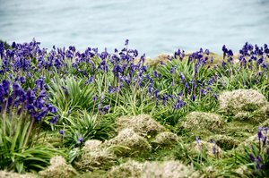Bluebells and sea