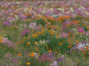 Spring Glory: Field of wildflowers near Oak Island, North Carolina.  The photo almost appears as a painting - makes a great card photo or puzzle photo.