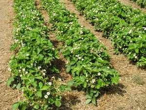 organic strawberry blossoms 2: organic strawberry blossoms 2