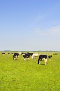 Dutch landscape: Dutch landscape with cows