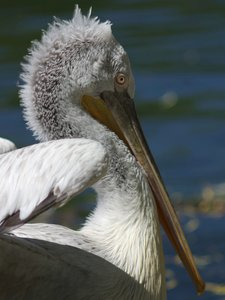 Pelican: Pelican in sunlight