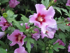 hibiscus bush: none