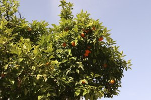 Oranges: Oranges growing in southern Spain.
