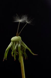 Dandelion: Isolated dandelion stem with 3 seeds.