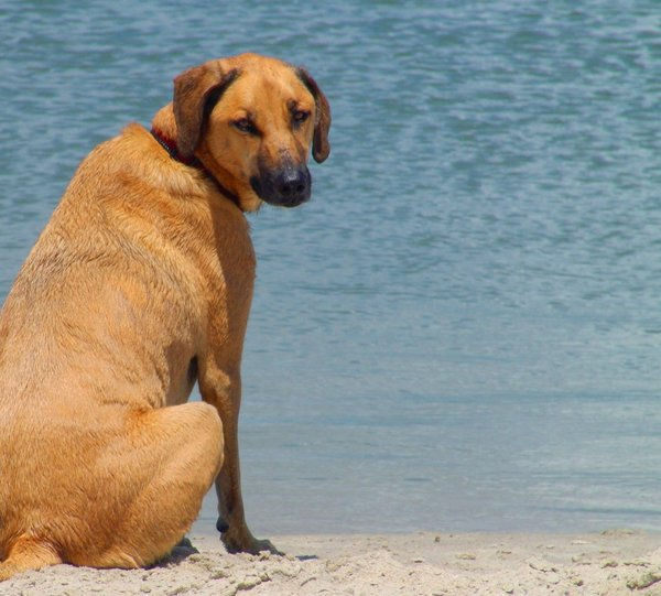 Hound Dog at the beach: Part Red Tick Hound Dog enjoying a day at the beach. Summer