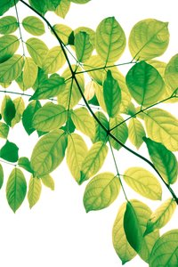 Green Leaves 3