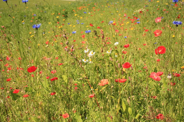 Summer flower meadow: Summer flowers in a meadow