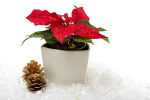 Poinsettia in snow: Poinsettia and golden pine cones in snow