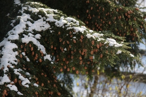 Pine cone tree in winter: Pine cone tree with snow