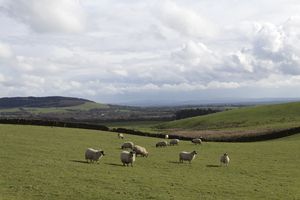 Sheep fields: Sheep fields in northern England in early spring.