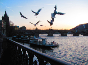 Charles bridge with upset gull: Seagulls in front of charles bridge (Prague, Czech Republic) in evening light