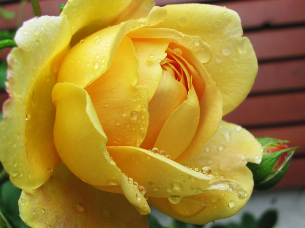yellow rose with dew: yellow rose bloom close-up with dew drops