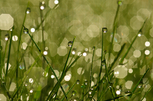 Dew in grass: Dew in grass, an early summer morning