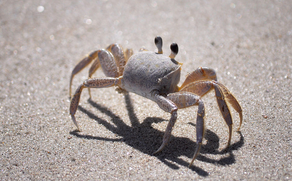 The Common Sand Crab: This little fella was not happy that I was standing on his hole.