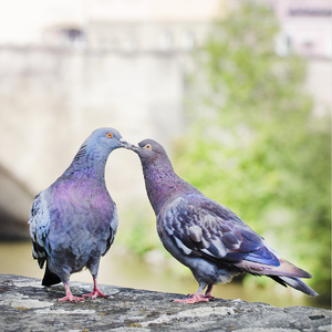 Kissing pigeons: Kissing love birds