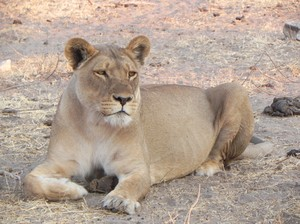 lion in botswana: none