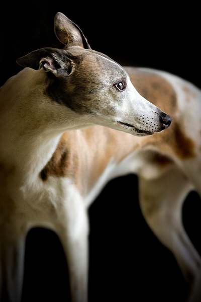 Greyhound: just a few times I saw that little Greeyhound. Hope to get more occasions to get portraits ;)