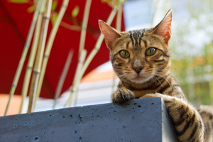 Bengal Cat: Bengal Cat in Garden, attentive looking
