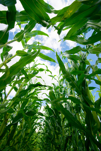 Corn Field - inside: Inside a Corn field, blue Sky with Clouds