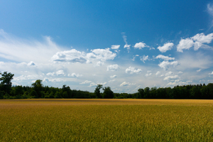 Fields and blue Sky: Wheat Fields under blue Sky, some white Clouds, Cloud Shadows on the Field. Near Forest.