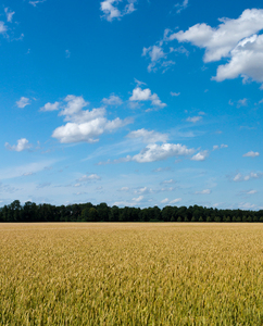 Wheat Field and blue Sky: Wheat Fields under blue Sky with small white Clouds