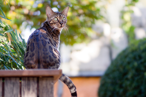 Bengal Cat in the Garden